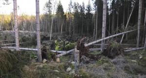 storm_skog_475